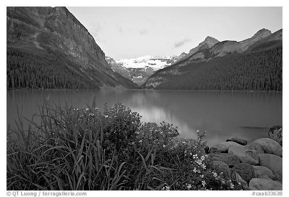 Yellow flowers, Victoria Peak, and Lake Louise, dawn. Banff National Park, Canadian Rockies, Alberta, Canada (black and white)