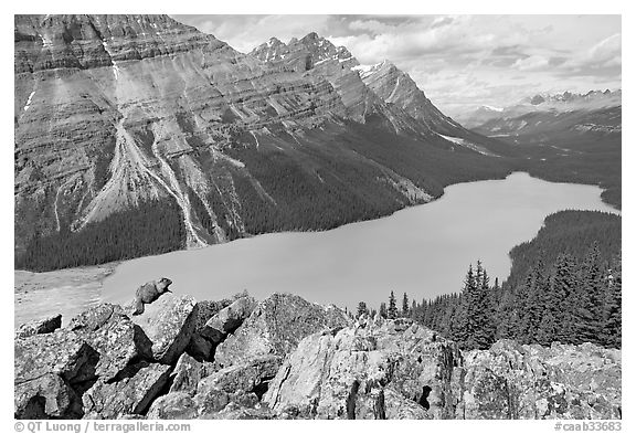 Marmot sitting on a boulder above Peyto Lake. Banff National Park, Canadian Rockies, Alberta, Canada (black and white)