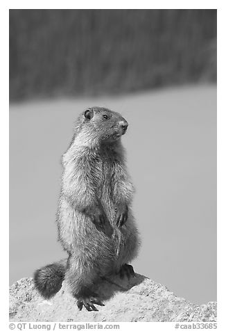 Marmot standing. Banff National Park, Canadian Rockies, Alberta, Canada (black and white)