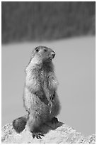 Marmot standing. Banff National Park, Canadian Rockies, Alberta, Canada ( black and white)