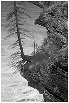 Spruce tree growing on a steep ledge,  Athabasca Falls. Jasper National Park, Canadian Rockies, Alberta, Canada (black and white)
