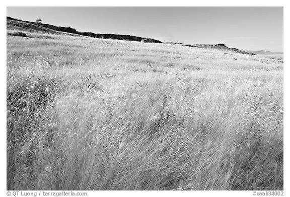 Tall prairie grasses blown by wind and cliff, Head-Smashed-In Buffalo Jump. Alberta, Canada (black and white)