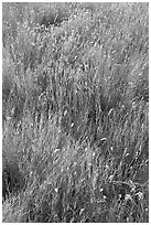 Prairie Grass. Alberta, Canada (black and white)