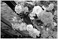 Hanging baskets of begonias. Butchart Gardens, Victoria, British Columbia, Canada (black and white)