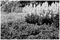 Patches of flowers. Butchart Gardens, Victoria, British Columbia, Canada (black and white)
