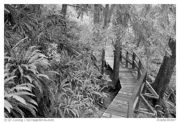Boardwalk in rain forest. Pacific Rim National Park, Vancouver Island, British Columbia, Canada (black and white)