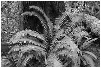 Ferns and trunk. Pacific Rim National Park, Vancouver Island, British Columbia, Canada (black and white)