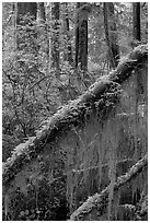 Moss in rain forest. Pacific Rim National Park, Vancouver Island, British Columbia, Canada (black and white)