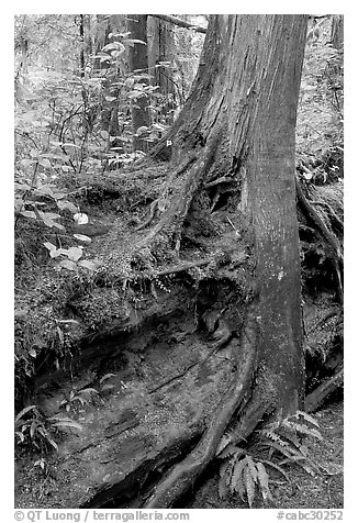Nurse log and tree. Pacific Rim National Park, Vancouver Island, British Columbia, Canada (black and white)