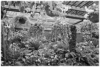Bower overflowing with hanging baskets. Butchart Gardens, Victoria, British Columbia, Canada (black and white)