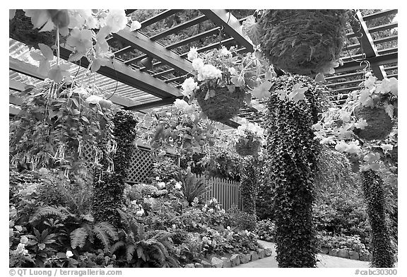 Bower overflowing with hanging baskets of begonias and fuchsias. Butchart Gardens, Victoria, British Columbia, Canada (black and white)