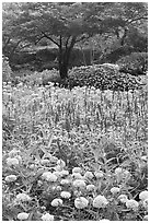 Annual flowers and trees in Sunken Garden. Butchart Gardens, Victoria, British Columbia, Canada ( black and white)