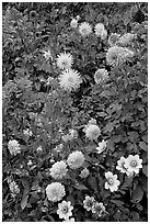 Dahlias. Butchart Gardens, Victoria, British Columbia, Canada (black and white)