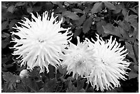 Yellow and pink Dahlias. Butchart Gardens, Victoria, British Columbia, Canada ( black and white)