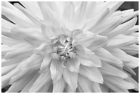 Pink Dahlias. Butchart Gardens, Victoria, British Columbia, Canada ( black and white)