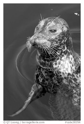 Harbour seal. Victoria, British Columbia, Canada (black and white)
