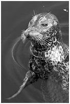 Harbour seal. Victoria, British Columbia, Canada ( black and white)