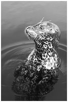 Harbor seal. Victoria, British Columbia, Canada ( black and white)