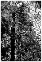 Tropical tree in Bloedel conservatory, Queen Elizabeth Park. Vancouver, British Columbia, Canada (black and white)