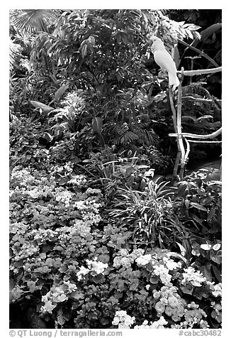 White Parrot and flowers, Bloedel conservatory, Queen Elizabeth Park. Vancouver, British Columbia, Canada (black and white)