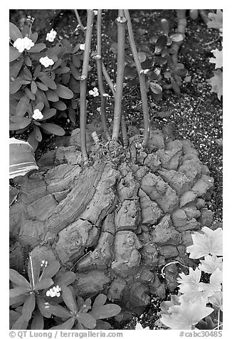 Elephant's foot plant,  Bloedel conservatory, Queen Elizabeth Park. Vancouver, British Columbia, Canada (black and white)