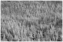 Partly burned forest on hillside. Kootenay National Park, Canadian Rockies, British Columbia, Canada ( black and white)