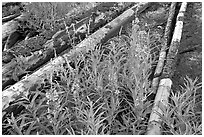 Fireweed and burned tree trunks. Kootenay National Park, Canadian Rockies, British Columbia, Canada (black and white)