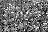 Wildflowers, Marble Canyon. Kootenay National Park, Canadian Rockies, British Columbia, Canada (black and white)
