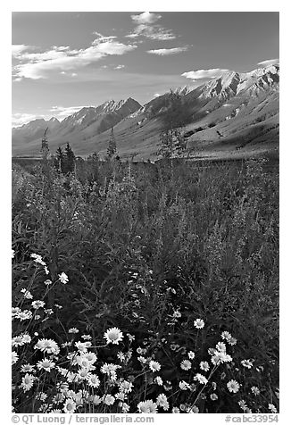Daisies, fireweed, and Kootenay Valley, late afternoon. Kootenay National Park, Canadian Rockies, British Columbia, Canada (black and white)