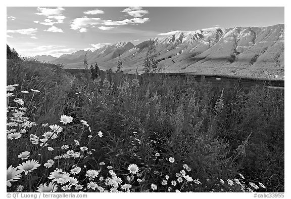 Daisies, fireweed, Mitchell Range and Kootenay Valley, late afternoon. Kootenay National Park, Canadian Rockies, British Columbia, Canada (black and white)