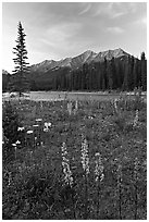 Yellow flowers, Kootenay River, and Mitchell Range, sunset. Kootenay National Park, Canadian Rockies, British Columbia, Canada (black and white)