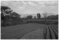 Fields. Baisha, Yunnan, China (black and white)