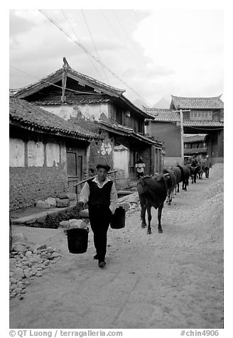 Through village streets with the cows. Baisha, Yunnan, China (black and white)