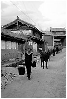 Through village streets with the cows. Baisha, Yunnan, China ( black and white)