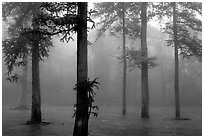 Trees outside of Xiangfeng temple in fog. Emei Shan, Sichuan, China (black and white)