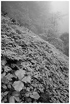 Wildflowers and ferns on a hillside in the fog between Xiangfeng and Yuxian. Emei Shan, Sichuan, China (black and white)