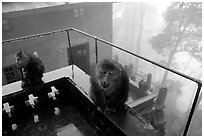 Monkeys outside Yuxian temple. Emei Shan, Sichuan, China (black and white)