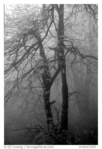Trees in fog between Xixiangchi temple and Leidongping. Emei Shan, Sichuan, China (black and white)