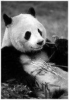 Panda eating bamboo leaves, Giant Panda Breeding Research Base. Chengdu, Sichuan, China ( black and white)
