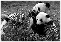 Panda mom and cubs eating bamboo leaves, Giant Panda Breeding Research Base. Chengdu, Sichuan, China ( black and white)