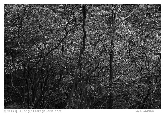 Blooming trees in forest. Huangshan Mountain, China (black and white)