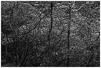 Blooming trees in forest. Huangshan Mountain, China ( black and white)