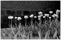 Tulips. Gotaland, Sweden ( black and white)