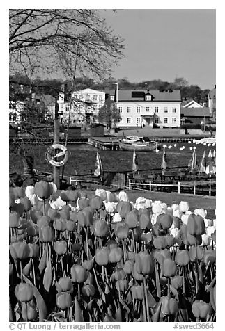 River and tulips, Vastervik. Gotaland, Sweden (black and white)