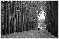 Sycamores, alley leading to Chenonceaux chateau. Loire Valley, France (black and white)