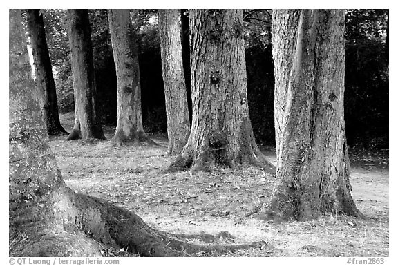 Trees in Palace Gardens, Fontainebleau Chateau. France (black and white)