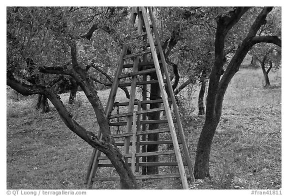 Ladders in olive tree orchard, Les Baux-de-Provence. Provence, France (black and white)