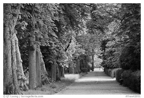 Chestnut trees, alley in English Garden, Palace of Fontainebleau. France (black and white)