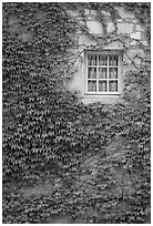 Ivy and window, Fontenay Abbey. Burgundy, France (black and white)