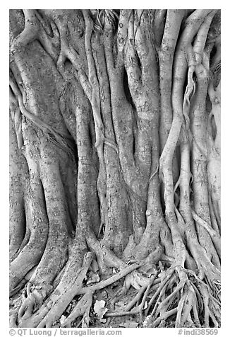Banyan tree trunk detail. New Delhi, India (black and white)